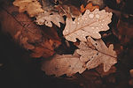 withered-leaves-photo-688830.jpg