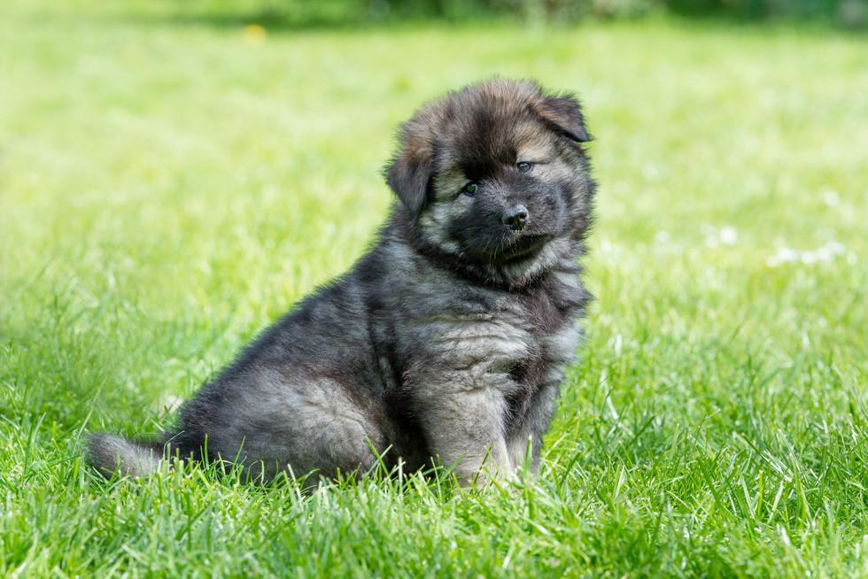 Hundefoto Eurasier Welpe