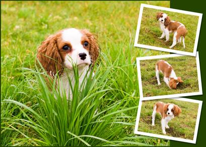 Cavalier King Charles Spaniel Hundefoto
