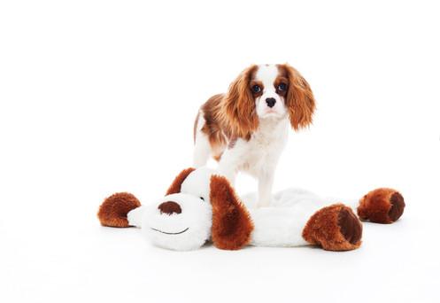 Cavalier King Charles Spaniel  Hundefotografie