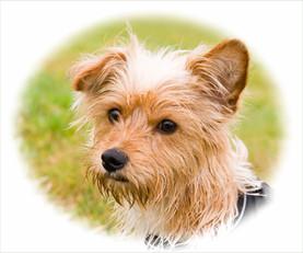 Terrier Hundefoto