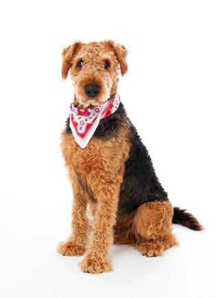 Tierporträt Terrier
