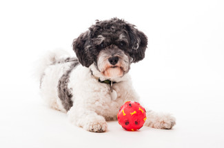 Studiofoto mit Terrier