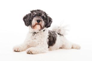 Terrier Senior der weiß, was er will