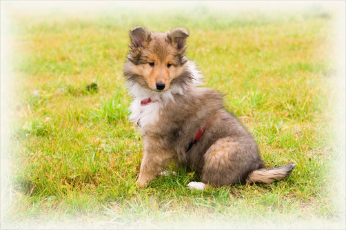 junger Langhaarcollie Hundefotoporträt