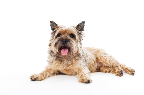 kleiner Terrier - Hundeporträt