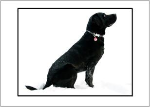 Hundefoto Labrador