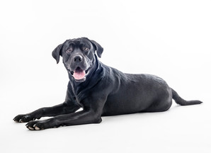 Studiofoto mit Labrador