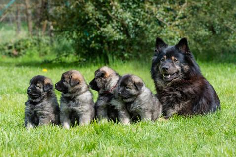 6 Wochen-Eurasier Hundefoto