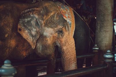 Elephant thailand.png