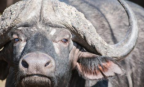 Male Buffalo.jpg