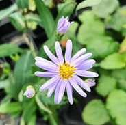 Smooth Blue Aster