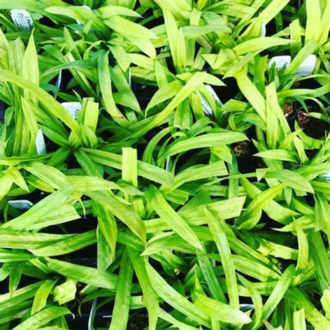 Plantain Sedge