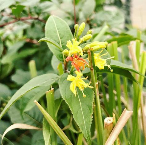 N. Bush Honeysuckle