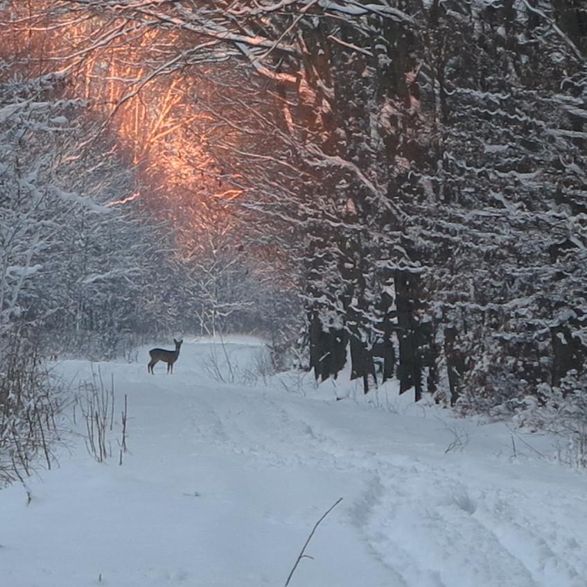 Winterwald Reh