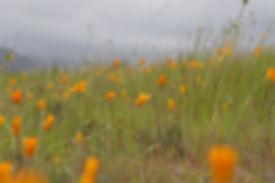 poppies2.jpeg