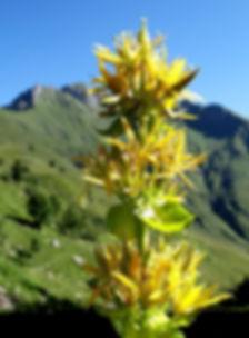 Fleur de Gentiane dont la racine est utilisée pour fabriquer les fameuses liqueurs. Nature, montagne, nature, fleur, plante, alcool.