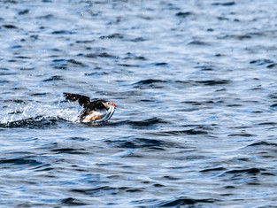 Puffin with fishes, trying to fly, Iceland_edited.jpg