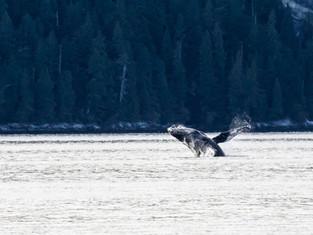 A Breaching Humpback whale, Bella Bella, British Columbia, Canada_edited.jpg