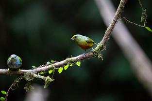 Olive Back Euphonia Costa Rica.jpg