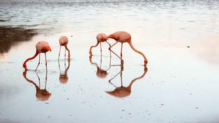 Flamingos feeding at sunset, Galapagos_edited.jpg