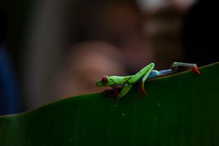Red Eye Frog Costa Rica (1).jpg