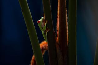Red Eye Frog Costa Rica (2).jpg