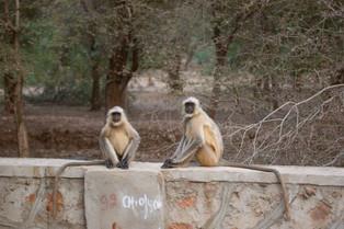 Hanuman Langurs, Ranthambore National Park_edited.jpg