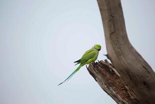 Alexandrain Parakeet, Bharatpur Bird Park, India_edited.jpg