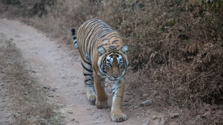 Tiger, Ranthambore National Park, India_edited.jpg