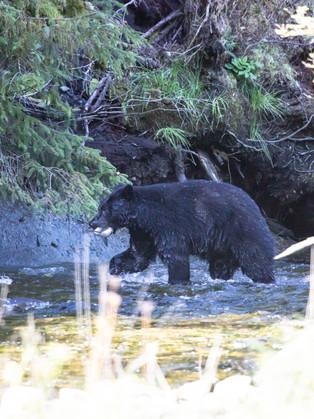 Black Bear with Salmon, Belle Bella, British Columbia, Canada_edited.jpg