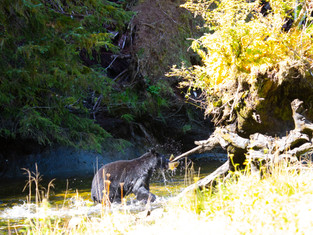 Black Bear with fish, Belle Bella, British Columbia, canada_edited.jpg