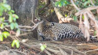 Jaquar having an afternoon nap, Pantanal, Brazil_edited.jpg