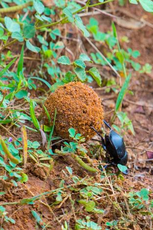 Scarab or Dung Beetle rolling dung up a slope, Sri Lanka_edited.jpg