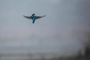 Hovering King Fisher, Bharatpur Bird Park, India_edited.jpg