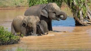 Mother, and 2 young elephants, Sri Lanka_edited.jpg