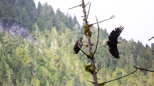 Bald Eagle, Bella Bella, British Columbia,Canada_edited.jpg