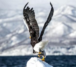 Steller Eagle scooping up a fish, Rausu, Hokkaido, Japan_edited.jpg