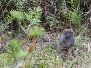 Bamboo Lemur, Andasibe, Madagascar_edited.jpg