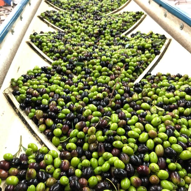 Olive frangitura