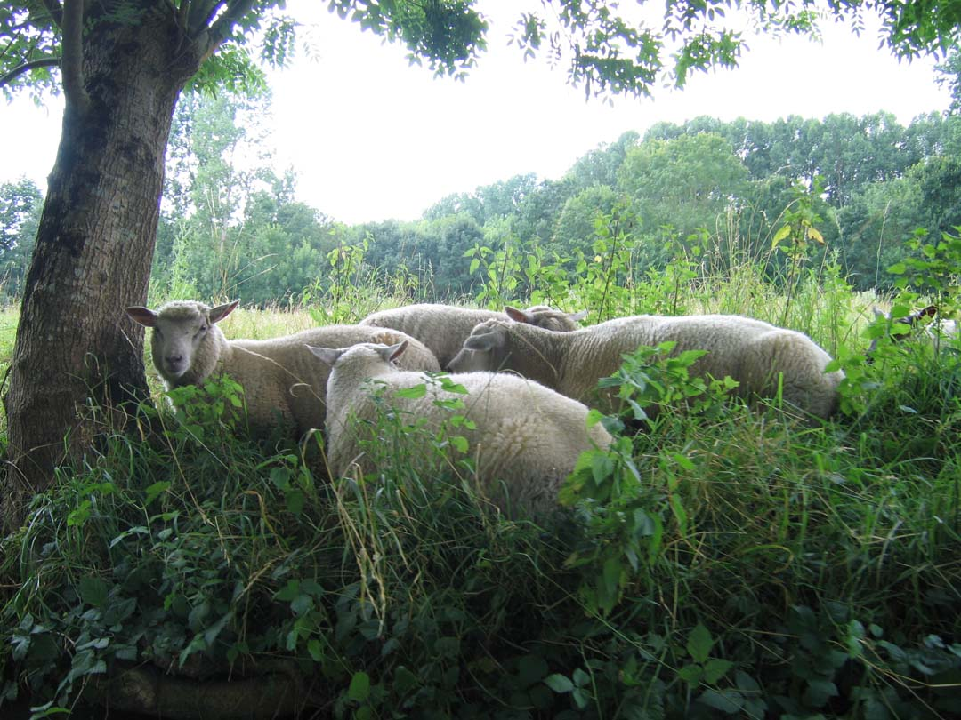 Moutons entretenants les berges