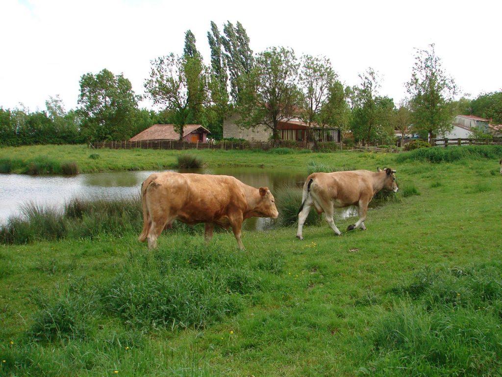 Les bovins
