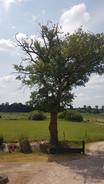 Notre chêne l'été