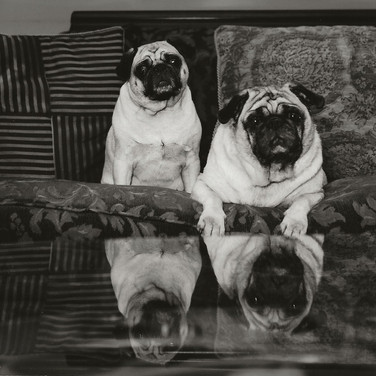 "Dennis Buonagura, ""Pugs and Paws in Reflection"""
