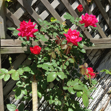 Meridith McNeal, Elephi Don Juan Roses Blooming in the Back Garden, May 2020