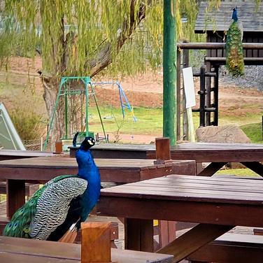 Sarah Gumguji, fun facts about peacocks