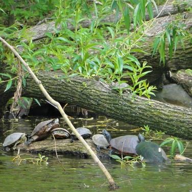 Sarah Gumgumji, Central Park Turtles