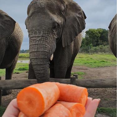 Sarah Gumgumji feeding Elephants in Africa