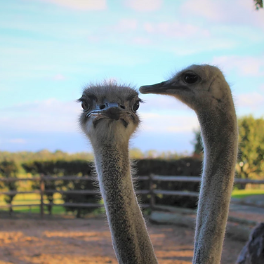 Sarah Gumguji, fun facts about ostrich