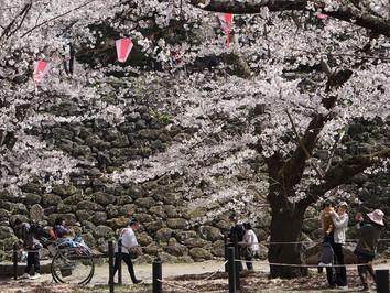 小諸城址・懐古園 桜の花
